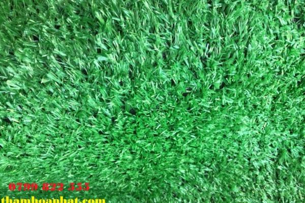 ảnh thực tế cỏ loại 1,5 cm